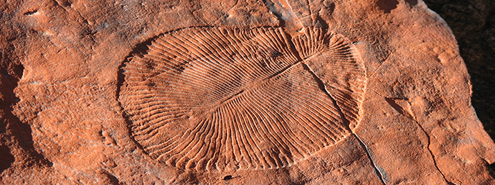 Dickinsonia from Rawnsley Quartzite, Brachina Gorge, Wilpena, South Australia