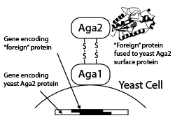 Yeast Display