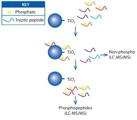 Protein Phosphorylation graph