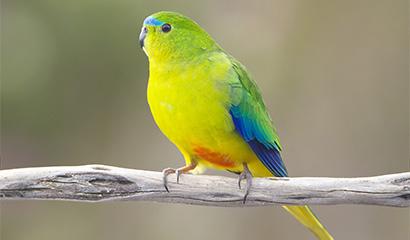 Orange belly parrot