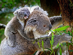 Characterising immune protection components of Koala milk