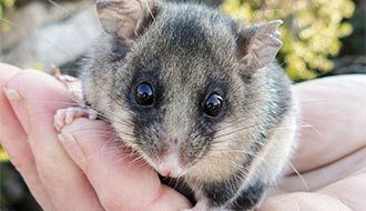 Mountain pygmy possum. Credit: Mel Schroder / OEH