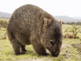 Wombat grazing