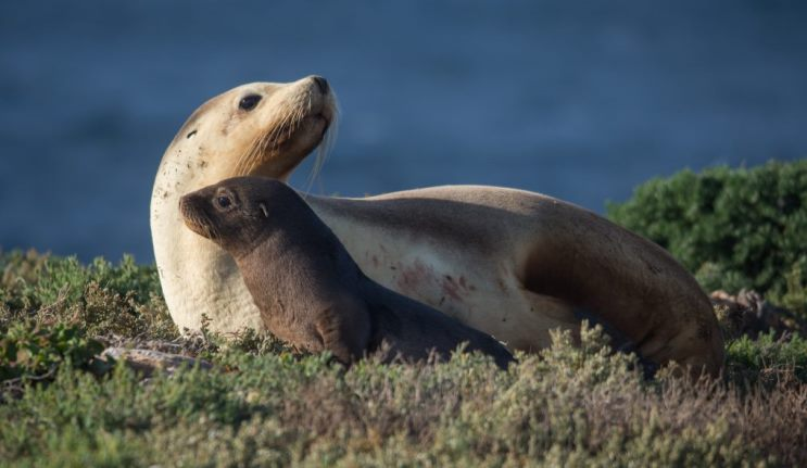 It's the mother and child reunion: sea lion mothers spot their pups in a crowd