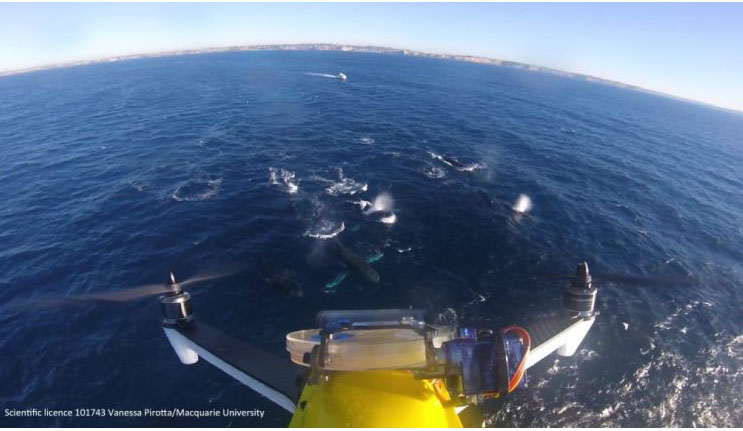 Boogie flights: how scientists are monitoring whale health by using drones to collect their blow