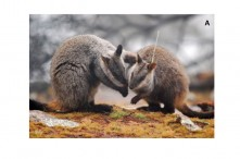 wallabies and antibiotic image (2)