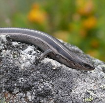 A three-lined skink (Bassiana duperreyi). Photo by Rory Telemeco.
