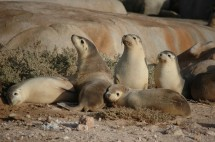 Captive Australian sea lions have been found to carry bacteria with antibiotic resistance genes, ultimately derived from bacteria of humans, photo credit Rob Harcourt.