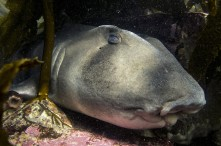 Port Jackson sharks found to travel up to 1200kms every year.