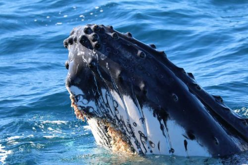 https://www.mq.edu.au/newsroom/wp-content/uploads/2018/12/Whale-Pirotta.jpeg